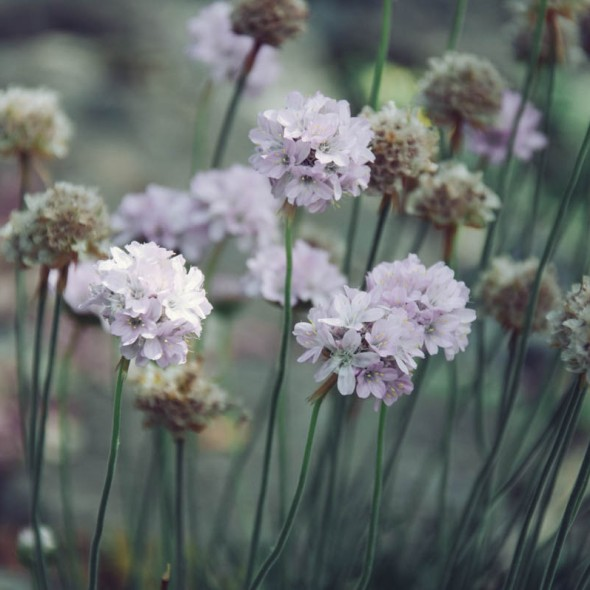 Field Scabious flowers